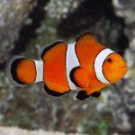OcellarisClownfish