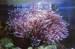 Ritteri-anemone