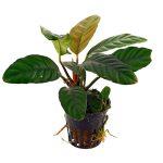 anubias-barteri-var-coffeifolia-pot
