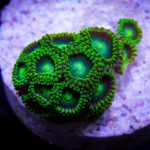 radioactive-dragon-eye-zoa