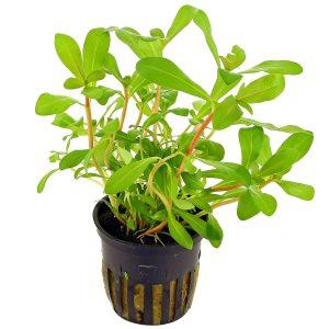 ammannia-crassicaulis-topf