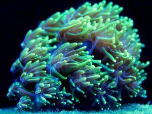 galaxea-coral-3