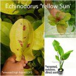 Echinodorus Yellow Sun3
