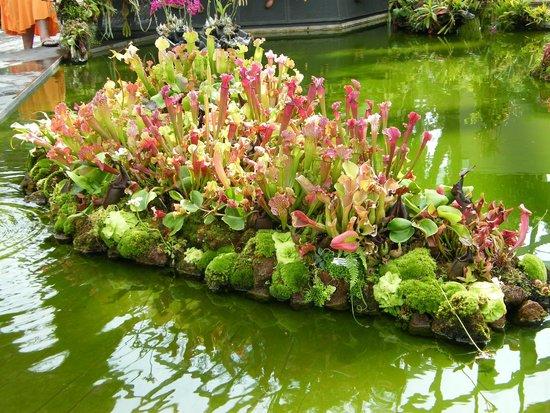 Sarracenia biljka mesožderka