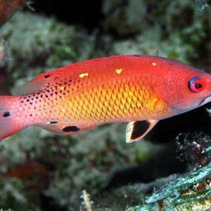 Cirrhilabrus tonozukai