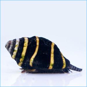 Bumble-Bee-Snail