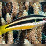 Diproctacanthus, Labridae, Perciformes, Pomacentridae, xanthurus