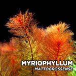 myriophyllum-mattogrossense (1)