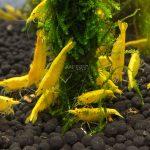 24k-yellow-shrimp-261773_5000x