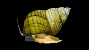 Cipangopaludina-leucythoides
