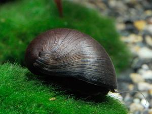 Neritina-pulligera-Military-Helmet-Snail