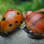 Neritina-sp.-Onion-Onion-Nerite-Snail
