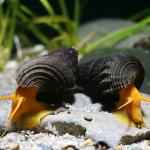 Tylomelania-sp.-Pure-Orange-Sulawesi-Orange-Snail