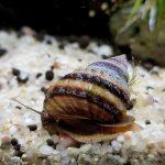 taia-naticoides-piano-snail